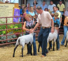 Club Lamb Showman using bracing training for judge